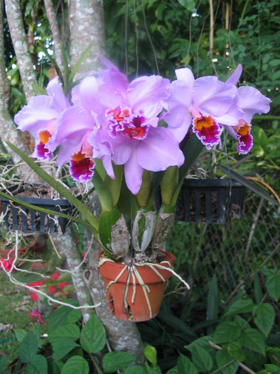 Miami every day photo january 2008 for Orchidea cattleya